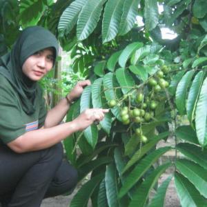 buah matoa yang belum matang