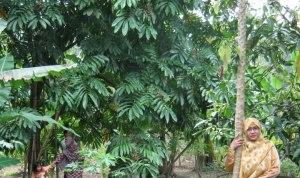 Di belakang saya itulah pohon matoa, buahnya ada di ujung², kebetulan sedang matang jadi berwarna kemerahan