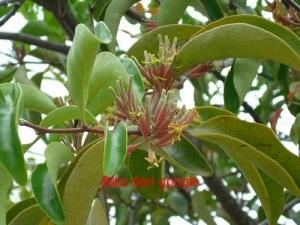 ini benalu mangga, bunganya berwarna kekuningan. biasanya ada juga yang berwarna agak pink :)