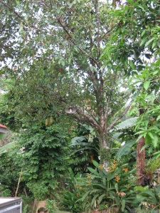 pohon tiwadak